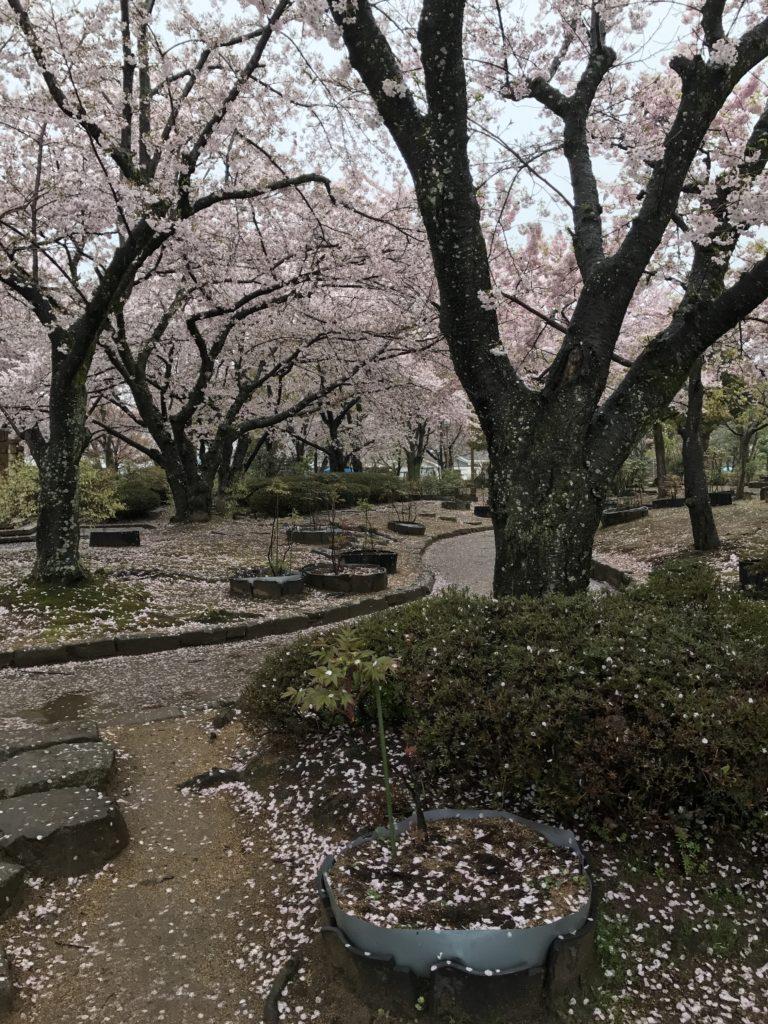 img 0583 768x1024 Osaka (2/3) / Himeji / Yoshino : cerisiers et repas de gros
