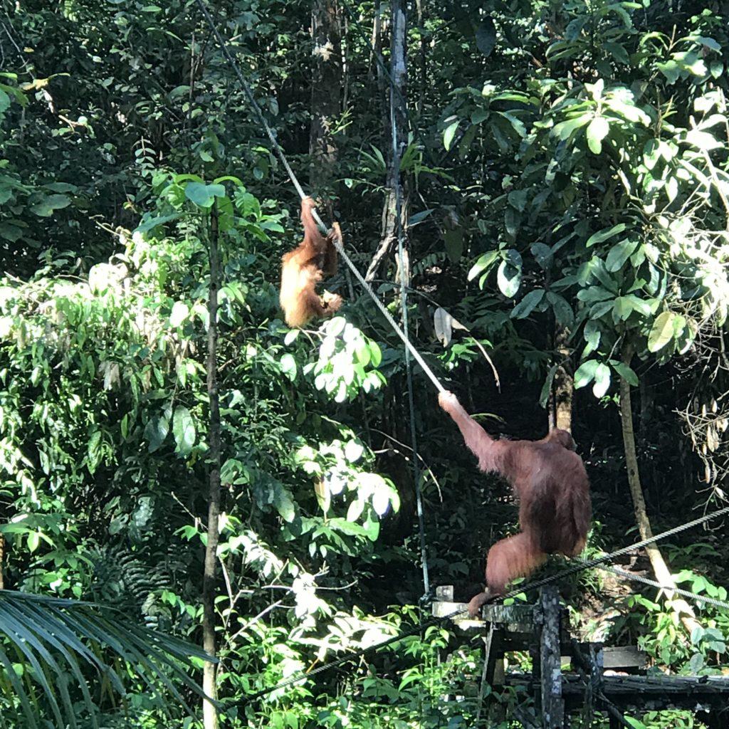 img 2629 1024x1024 Sarawak : Kuching, Semmengoh et Bako National Park