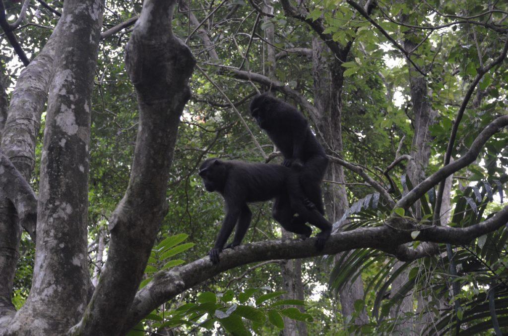 dsc0262 1024x678 Tangkoko : à la recherche du primate le plus petit du monde