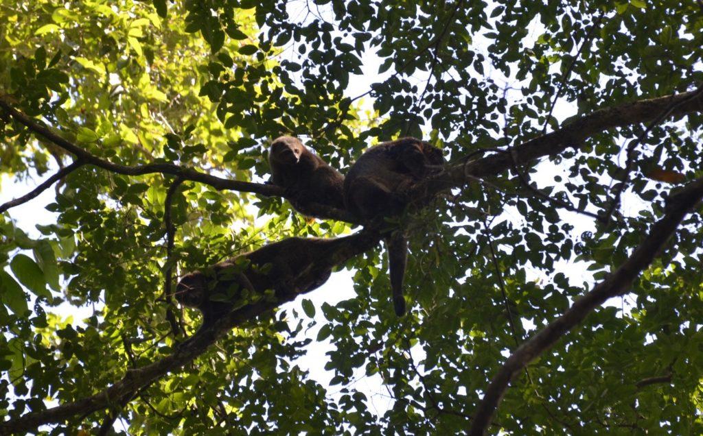 dsc0335 e1501591905118 1024x636 Tangkoko : à la recherche du primate le plus petit du monde