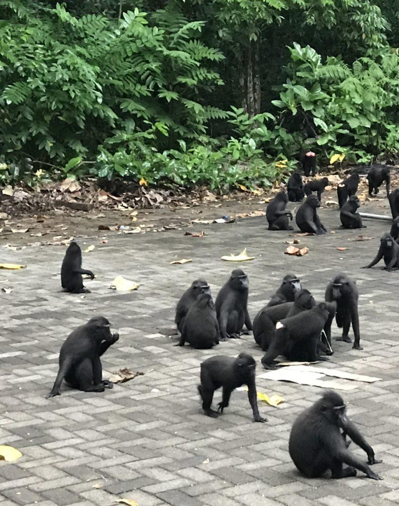img 6695 e1501594802709 807x1024 Tangkoko : à la recherche du primate le plus petit du monde