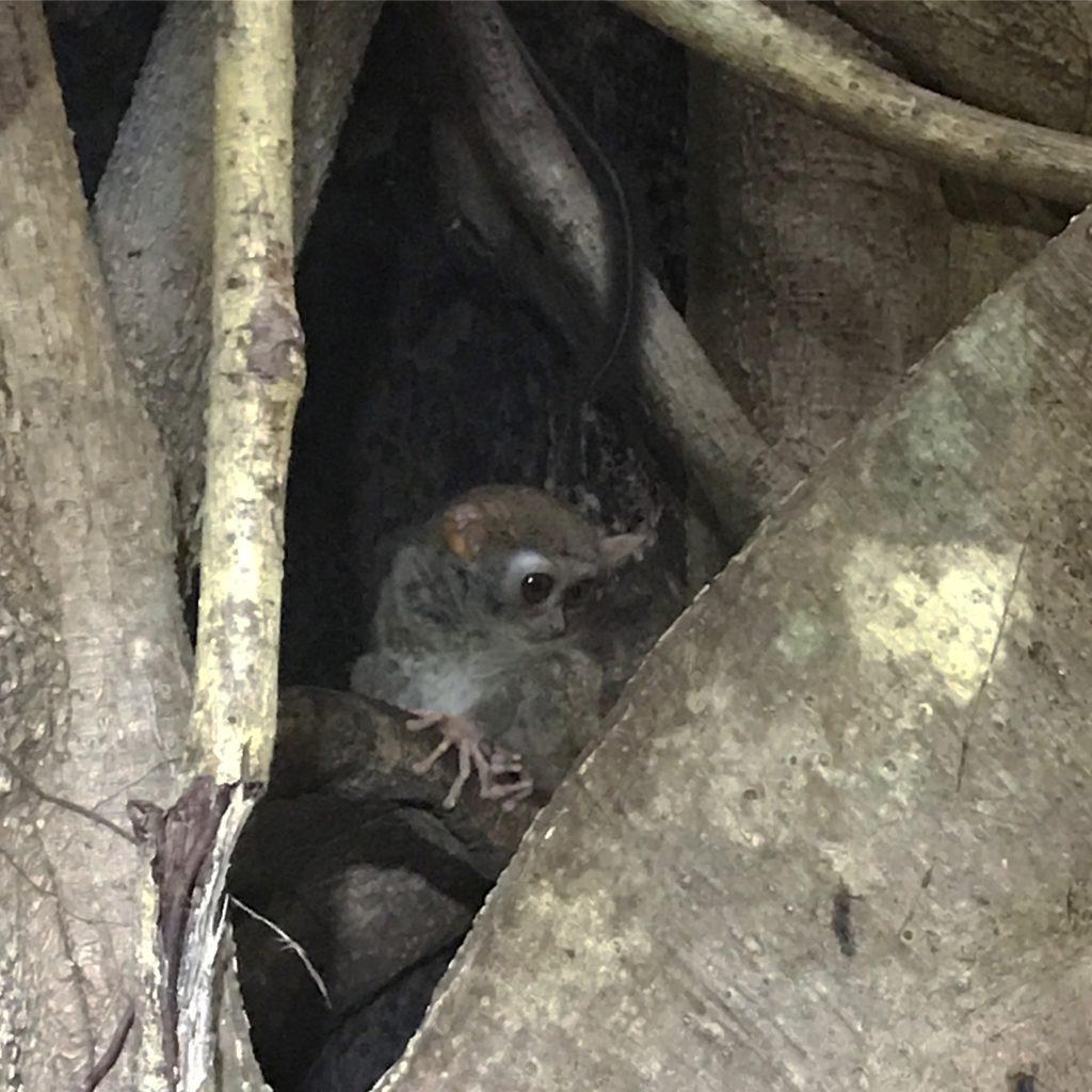 img 6776 1024x1024 Tangkoko : à la recherche du primate le plus petit du monde